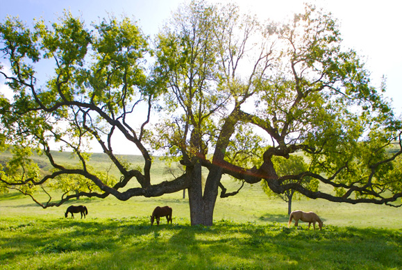 large tree with horses grazing underneath it